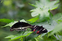 A Polydamas Swallowtail (Battus polydamas) left, and.a Ruby-spotted swallowtail (Papilio anchisiades) right at the world's largest Butterfly Observatory, La Paz Waterfall Gardens and Peace Lodge, Costa Rica