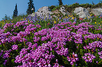 Pink Mountain Heather (Phyllodoce empetriformis) plus other wildflowers--lupine, arnica and paintbrush.  Summer, Mount Rainier area, WA.