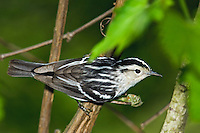 Black-and-white Warbler (Mniotilta varia) male in breeding plumage rests in mixed forest along Lake Erie shoreline near Canada and USA border during annual spring migration northward to summer nesting grounds. About 52% of these Warblers in North America nest in Canada's boreal forest.