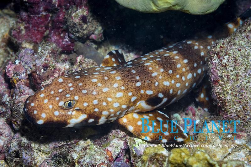 hooded epaulette shark, Hemiscyllium strahani, also called the hooded carpet shark or walking shark, endemic and rare, Madang, Papua New Guinea, Pacific Ocean