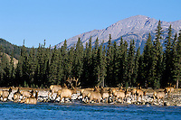 Rocky Mt. Elk Canadian Rockies. Fall Athabasca River, Jasper National Park.