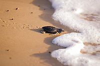 Kemp Ridley turtle, Lepidochelys kempii, hatchling on South Padre Island beach, Texas, Atlantic