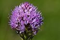 Globe Orchid {Traunsteinera globosa}, Nordtirol, Austrian Alps. June.