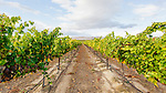 Washington State's Yakima Valley, with 300 days of sunshine per year sports some of the finest vineyards in the state.  Rattlesnake Hills EVA shares hillsides and valley with traditional orchard crops.