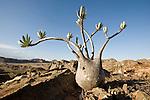 Elephant's Foot Plant (Pachypodium rosulatum var. gracilis) on sandstone outcrop. Isalo NP, southern Madagascar.