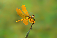 304570019 a wild male mexican amberwing perithemis intensa perches on a twig near the lake at parker canyon lake cochise county arizona
