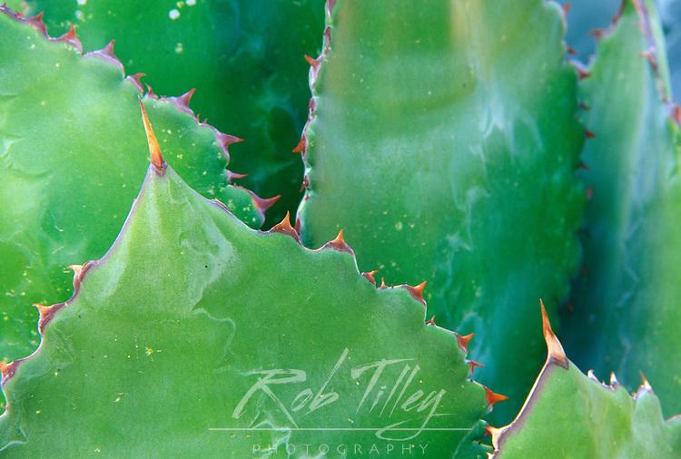 N.A., USA, Arizona, Tucson, Sonora Desert Museum, Agave (Agave shawii)