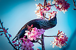 Tui Blossom