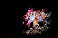 Flamboyant Cuttlefish (Metasepia pfefferi) with black background