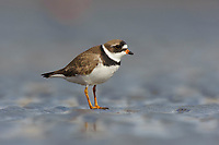 Adult Semipalmated Plover (Charadrius semipalmatus) during spring migration. Gray's Harbor County, Washington. April.