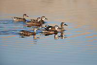Blue-winged Teal (Anas discors), females and a male at the Salton Sea State Recreation Area, Mecca, California.