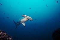 Scalloped hammerhead shark, Cocos Island, Sphyrna lewini, Costa Rica, East Pacific Ocean
