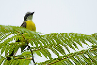 Social Flycatcher, Myiozetetes similis, perched on a fern in Arenal Volcano National Park, Costa Rica