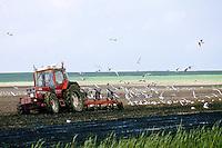 Lachmöwe, Vögel folgen einem Trecker beim Pflügen, suchen nach Nahrung in dem umbebrochene Boden, Lach-Möwe, Lachmöve, Lach-Möve, Möwe, Möve, Larus ridibundus, Chroicocephalus ridibundus, black-headed gull