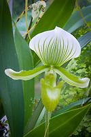 Paphiopedium Maudiae (album form) Orchid, primary hybrid cross of callosum x lawrenceanum