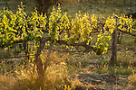 Late afternoon in the Shenandoah Valley, California, vineyards in spring after budbreak in California's Sierra Nevada Foothills
