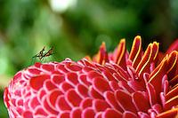 Fruit Flies on Torch Ginger Flower at Cairns Botanical Gardens in Cairns, North Queensland