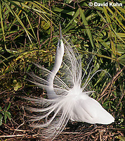 0313-0866  Great Egret Performing Breeding Dance, Displaying Breeding Plumage, Ardea alba [In Sequence with 0313-0864, 0313-0866] © David Kuhn/Dwight Kuhn Photography