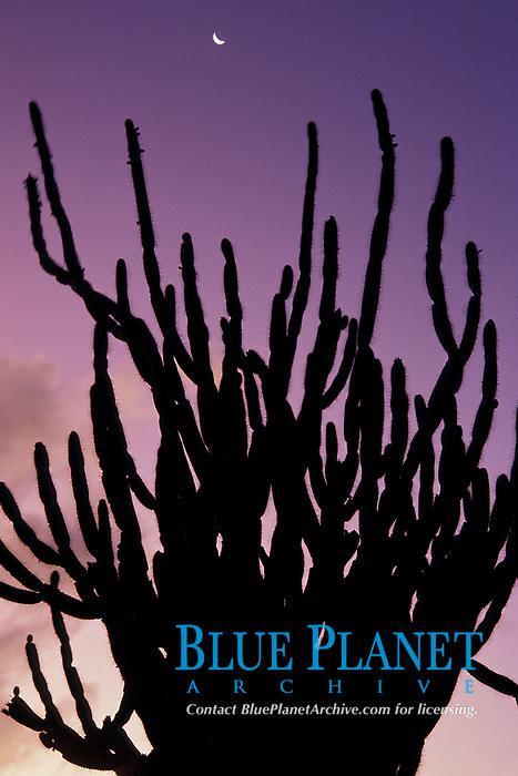 candle cactus and crescent moon at sunrise, Bonaire Netherland Antilles (Dutch ABC Islands) (Caribbean, Atlantic)