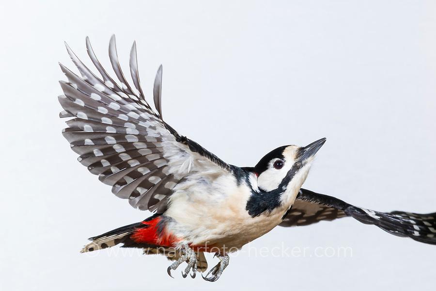 Buntspecht, Flug, Flugbild, fliegend, Bunt-Specht, Specht, Spechte, Dendrocopos major, Picoides major, Great spotted woodpecker, flight, flying, Pic épeiche