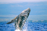 humpback whale calf,  .breaching with eye open, .Megaptera novaeangliae, .Hawaii (Pacific)