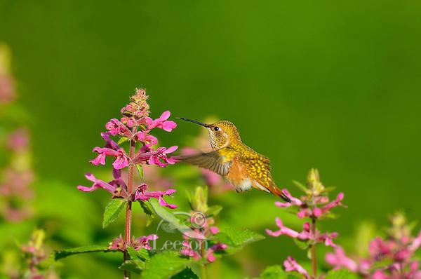 Rufous Hummingbird (Selasphorus rufus) feeding on Cooley's Hedge Nettle flower, Pacific Northwest.  August.