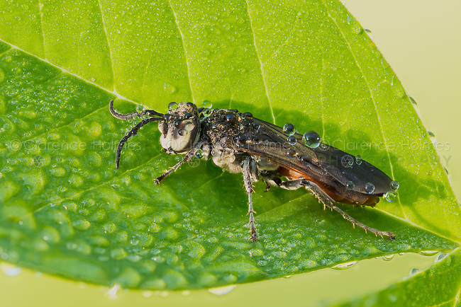 A dew-covered Square-headed Wasp (Larrini).