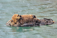 Alaskan or Northern Sea Otter (Enhydra lutris) mom with young pup sleep during a snow shower.  Alaska.