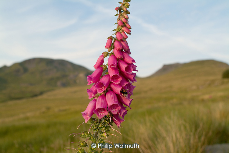 Foxgloves in evening light below Moelwyn Mawr in the Snowdonia National Park in North Wales