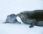 Harbor seal and pup, Glacier Bay, Alaska, USA