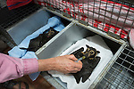 Jenny Mclean administering medication to paralysed fruit bats bitten by paralytic ticks. Jenny is the owner and main wildlife carer of Tolga bat Hospital.