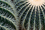 Golden Barrel Cactus, Echinocactus grusonii.  Close up. Volunteer Park Conservatory in Seattle, WA.  One of only three conservatories on the U.S. West Coast.   Also known as Winter Begonia.  Begonia x hiemalis.