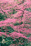 Japanese Maple.  The Japanese Garden in Portland is a 5.5 acre respit.  Said to be one of the most authentic Japanese Garden's outside of Japan, the rolling terrain and water features symbolize both peace and strength. Public, city facility