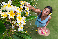 A local woman picks yellow plumeria flowers in a yard on O'ahu.