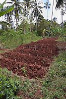 Zanzibar, Tanzania.  Cassava Cuttings in New Rows.  Manioc.