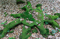 Mosses on tree stump (France, Normandy, Bellème forest) // France, Orne (61), Parc Régional Naturel du Perche, région du Perche, fôret de Bellème vers La Perrière, souche et mousse