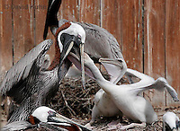 0305-0861  Brown Pelican Feeding Young, Pelecanus occidentalis © David Kuhn/Dwight Kuhn Photography.