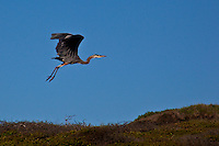 A great blue heron, with nothing more than feathered arms, is airborne.