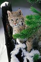 Bobcat (Felis rufus) Northern Rockies, winter.