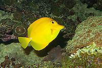 Gelber Segelflossendoktor, Segelflossen-Doktor, Gelber Segeldoktorfisch, Zitronenflossen-Doktorfisch, Doktorfisch, Gelber Hawaii Seebader, Zebrasoma flavescens, yellow tang
