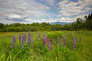 Lupine fields in Sugar Hill, New Hampshire USA during the Annual Celebration of Lupines festival