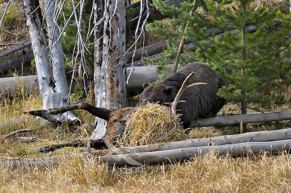 GRIZZLY BEAR (Ursus arctos) feeding on bull elk carcass.   Greater Yellowstone Area.  Fall.