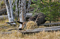 GRIZZLY BEAR (Ursus arctos) feeding on bull elk carcass.   Greater Yellowstone Area.  Fall.