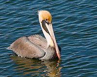 Brown Pelican, Rockport, TX