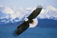 Bald Eagle (Haliaeetus leucocephalus) flying over Kachemak Bay, Alaska..March.