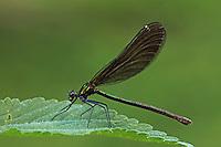 Blauflügel-Prachtlibelle, Prachtlibelle, Weibchen, Calopteryx virgo, bluewing, Beautiful Demoiselle, demoiselle agrion, female