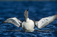Red-throated Loon, Gavia stellata, adult, Kongsfjord, Norway, June 2001