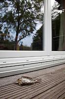 Singdrossel ist an Fensterscheibe, Fenster geflogen und tödlich verletzt, Fenstertod, Fensteranflug, Scheibenanflug, Anflug, Sing-Drossel, Drossel, Song Trush, Turdus philomelos, Song Trush, Grive musicienne