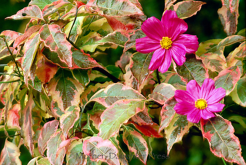 Pink Cosmo flowers show through the leaves of a Cherokee daybreak dogwood tree in complimentary colors