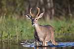 White-tailed buck walking in shallow water